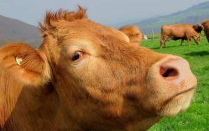 Kuh Weide pix 63246
