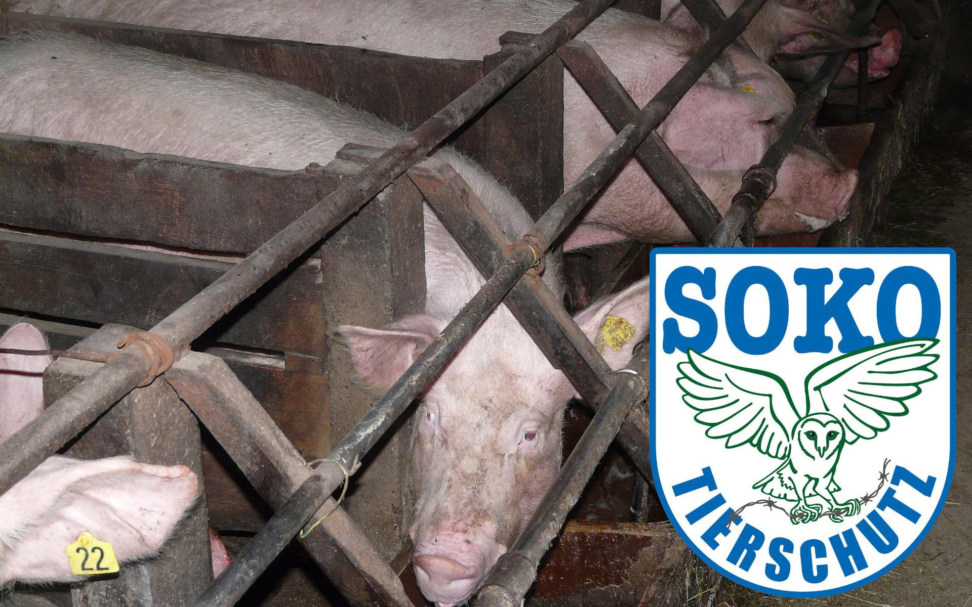 """Soko Tierschutz """"siegt"""" vor Gericht gegen Schweinezüchter"""